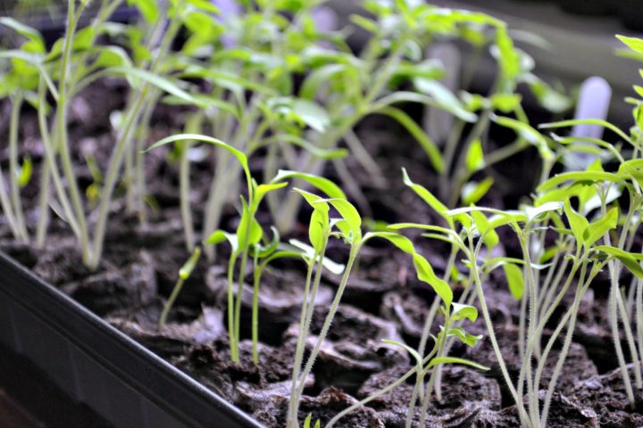 starter seedlings ready to be replanted