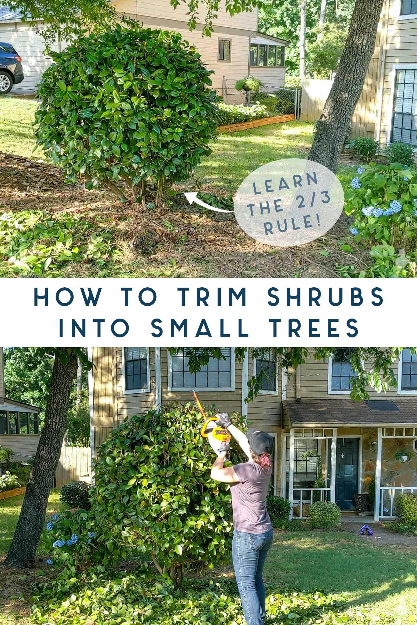 trim shrubs into small trees