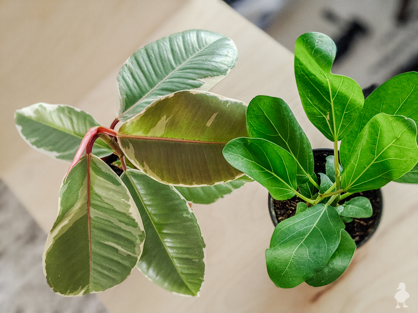 ficus tineke and ficus audrey ordered thorugh Etsy